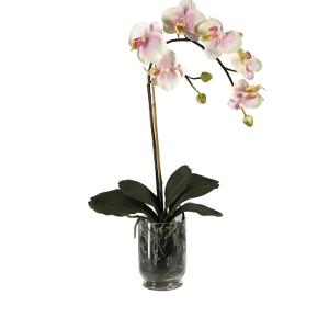 Орхидея фалинопсис 1-ствольная